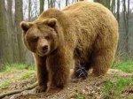 На Буковині ведмеді вкрали трьох корів