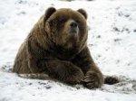 Ведмеді лягли спати у Карпатах