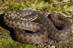 На Буковині змія вкусила 7-річного хлопчика