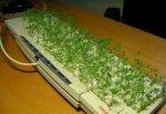 В Україні дозволили вирощувати коноплю