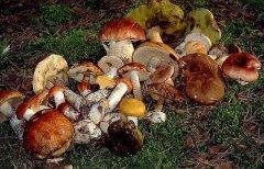 Буковинці, бережіться отруєння грибами!