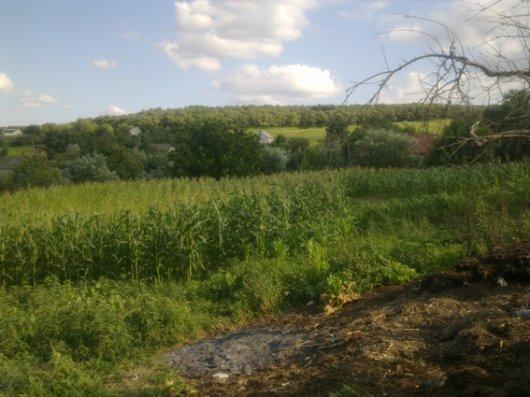 На Буковині виявлена прихована плантація коноплі
