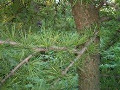 Лісівникам почали радити не садити на Буковині бук, а збільшувати площу модрини