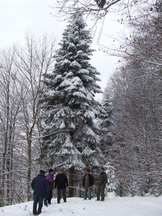 До Чернівців привезли новорічну ялинку