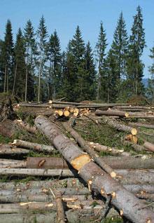Новоселицький лісівник завдав державі шкоди на 200 тис.грн