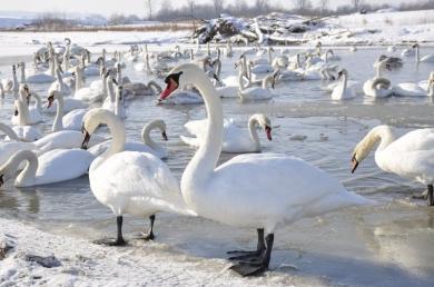 У Чорториї на Буковині загинули лебеді