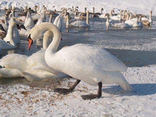Іванові лебеді захворіли. Їх косить пташиний грип.