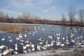 У Чорториї загинули 44 лебеді