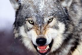 На Чернігівщині прикордонники врятували чоловіка, на якого напав оскаженілий вовк