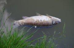Щука, карасі та мальок загинули на озері у Чорториї