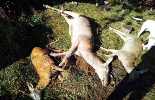 На Буковині браконьєри вбили оленів